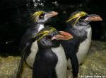 Macaroni-Penguins.jpg