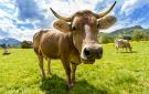 cow135x85.jpg