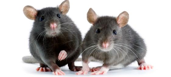rodents.jpg