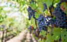 vineyard3.jpg