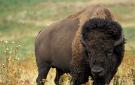 _bison135x85.jpg