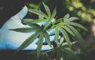 cannabis135x85.jpg